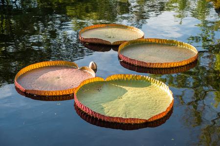 Victoria amazonica loto che galleggia sull'acqua Archivio Fotografico - 63154063