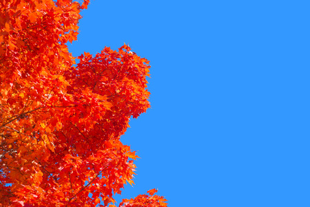 vibrance: Autumn maple trees with red leaves against pure blue sky in Montreal, Quebec, Canada Stock Photo
