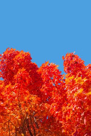 モントリオール、ケベック、カナダで、真っ青な空と紅葉と秋のもみじの木