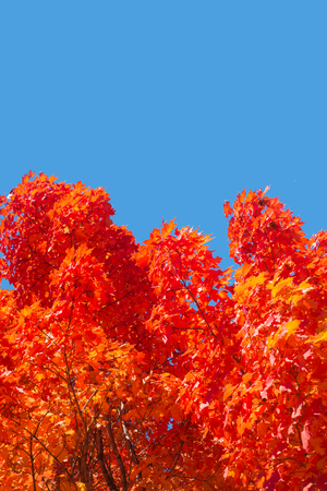 Autumn maple trees with red leaves against pure blue sky in Montreal, Quebec, Canada Stockfoto