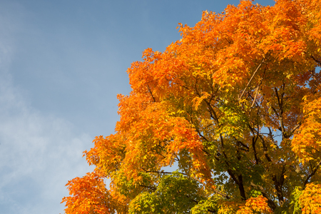 Autumn maple trees with red leaves against blue sky in Quebec, Canada