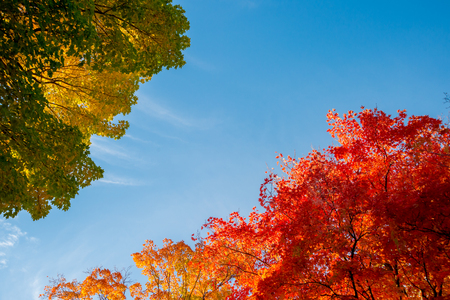 vibrance: Autumn maple trees with red leaves against blue sky in Quebec, Canada