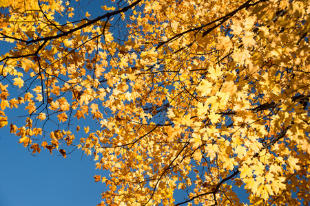 vibrance: Autumn maple trees with yellow leaves against blue sky in Quebec, Canada