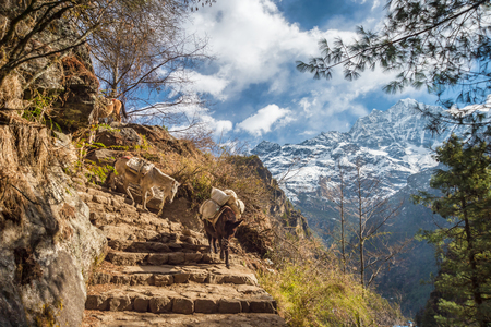 Caravan of donkeys on a trail in the Himalayan region, with mountain range in the background Stock Photo
