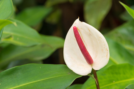 arum: White Anthurium Laceleaf flower with leaves in the background