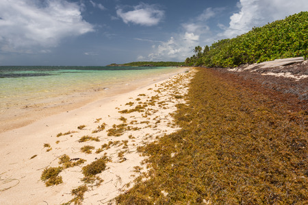 Large quantities of Sargassum seaweed lay ashore at the Anse Michel beach in Martinique