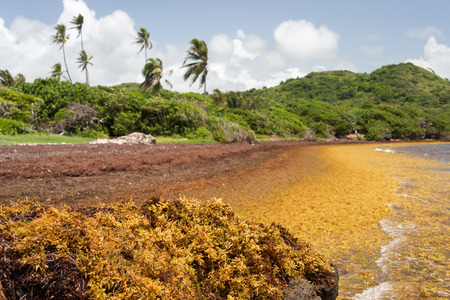 Large quantities of Sargassum seaweed lay ashore at the Anse au Bois beach in Martinique Stock Photo