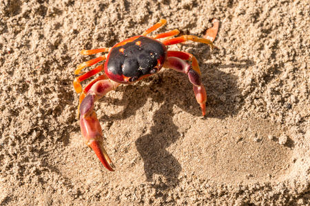 Geocarcinus sp Touloulou red crab in Martinique, Carribean. Stock Photo