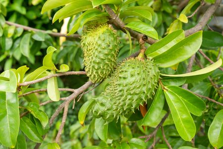Soursop fruits on their trees, in Martinique.