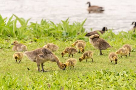 Gaggle of Canadian goose goslings on the banks of the St. Lawrence River near Montreal, Canada. Reklamní fotografie
