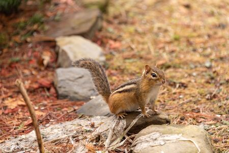 Adorable chipmunk in Quebec, Canada