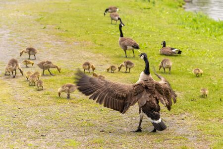 Adult Canadian goose looking after many goslings on the banks of the St. Lawrence River near Montreal, Canada. Reklamní fotografie