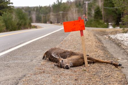 Dead White-tailed deer hit by a car lying on roadside in Quebec, Canada