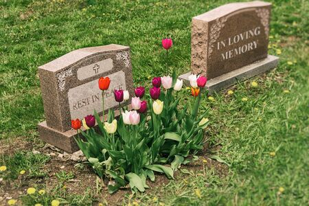Headstones in a cemetery with many tulips