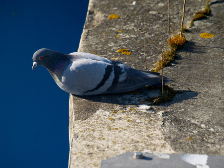 ringdove sitting on a platform above the water