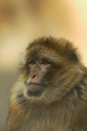 berber: Portrait of a berber monkey