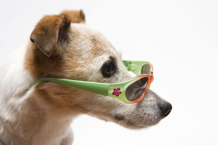 jack russel: say what? Stock Photo