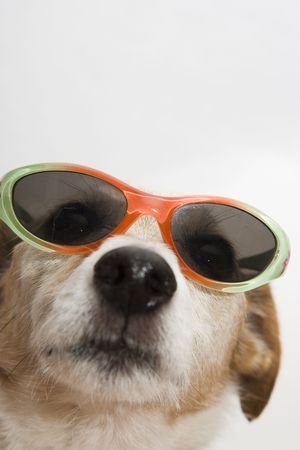 jack russel: whats up? Stock Photo