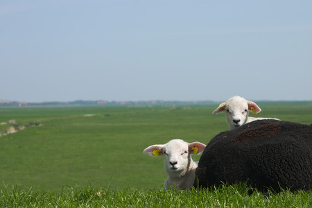 two lambs with their black mother Stock Photo - 1416876