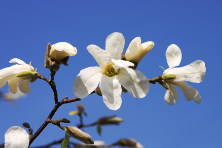 to attract: magnolia