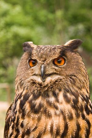 fierce looking owl photo