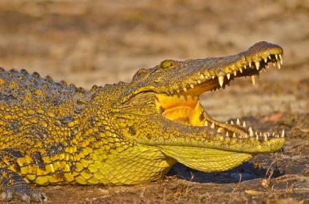 basking: Nile crocodile basking