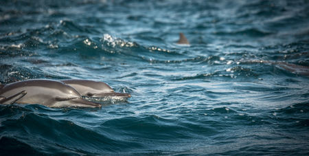 Dolphins swimming along the coast of Sri Lanka