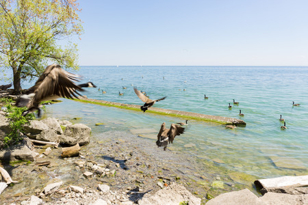fleet of Canada geese takes off flying over Lake Ontario to migrate south Stock Photo