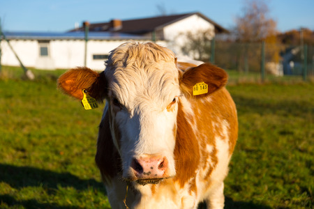 cow staring at camera standing on grass field in front of barn building separeted by wire fence
