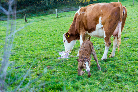 mother cow with new born calf hours after giving birth on green grassland