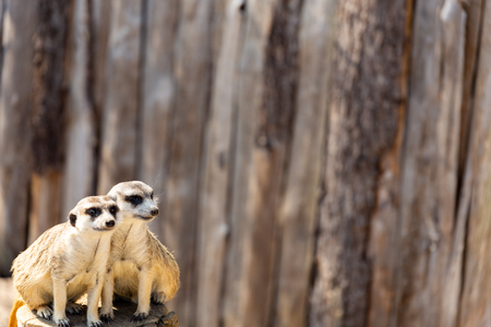 two meerkats sitting close together on a tree stump staring in different directions into the distance negative space Stock Photo