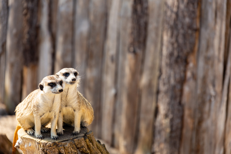 two meerkats sitting close together on a tree stump staring in the same direction into the distance negative space
