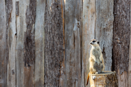 meerkat standing tall on a tree stump looking to the left as if observing or anticipating