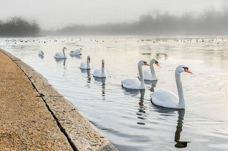hyde: Swans Hyde Park Stock Photo