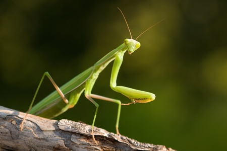 Mantis religiosa  photo