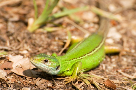 Lacerta viridis photo