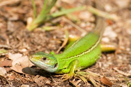 Lacerta viridis Stock Photo - 11811356