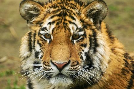 Panthera tigris altaica photo