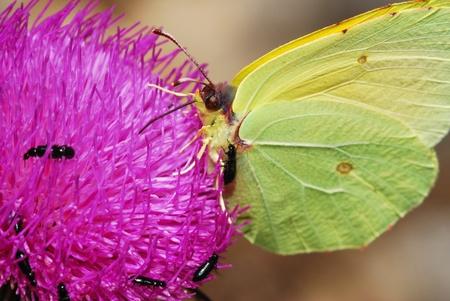 gonepteryx: Yellow butterfly