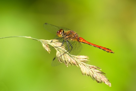 Dragonfly on the cob Stock Photo - 12018629