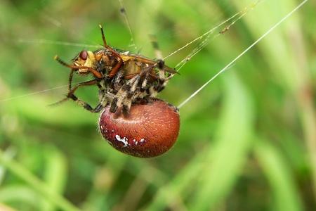 Spider with prey Stock Photo - 12035696