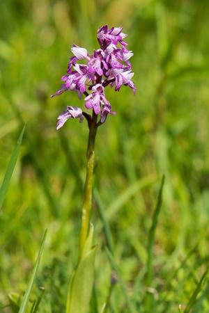 majalis: Dactylorhiza majalis