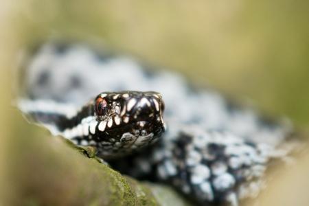 Vipera berus detail photo