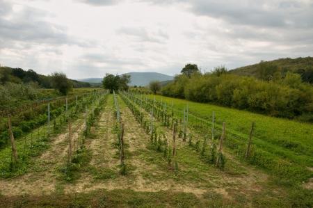 krk: Vineyards in Croatia, Island Krk