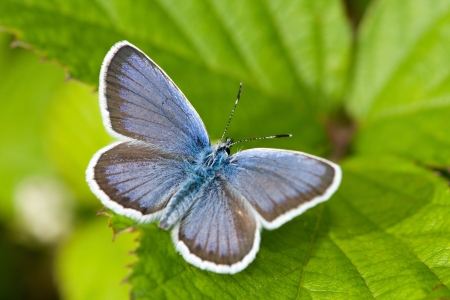 Polyommatus icarus Stock Photo - 21241727