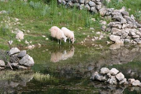 pozo de agua: Ovejas en la charca