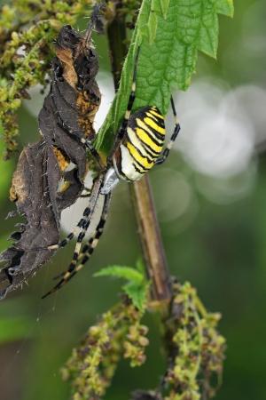 argiope: Argiope bruennichi