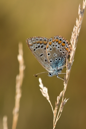 Polyommatus icarus  photo