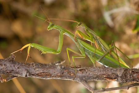 Mating praying mantis photo