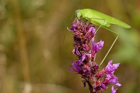 falcata: Phaneroptera falcata